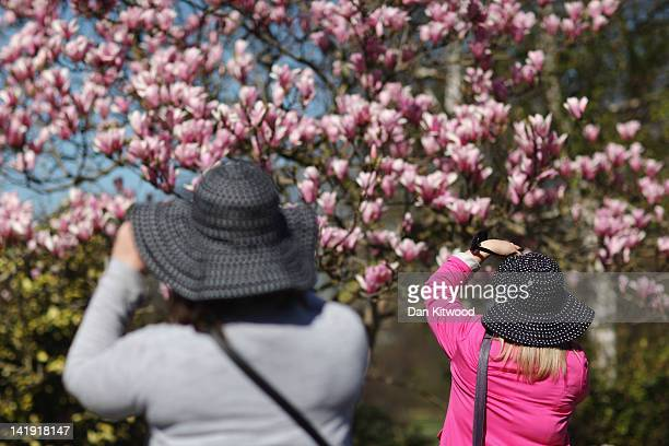 Two women take pictures of a Magnolia tree in bloom in Regents Park on March 26 2012 in London England The Met Office expects today to be the warmest...