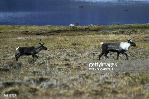 Alpine tundra caribou - photo#28