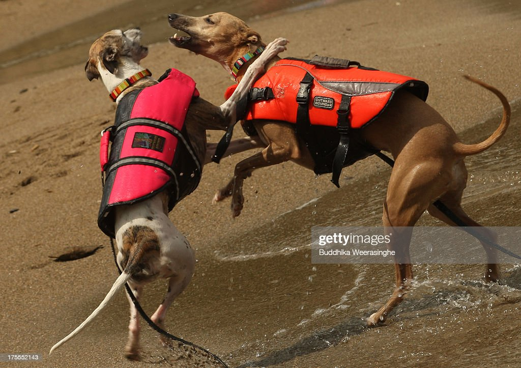 Two year dog Rodem (R) and four year old dog Mary play at Takeno Beach on August 4, 2013 in Toyooka, Japan. This beach is open for dogs and their owners every summer between the months of June and September.