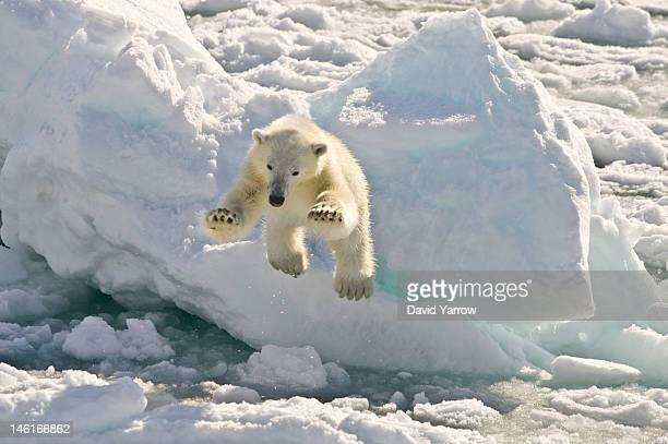 A two year old polar bear cub ventures close to a visiting boat over the moving ice flow on June 6 2012 in Vaigattfjellet North Spitsbergen Norway...