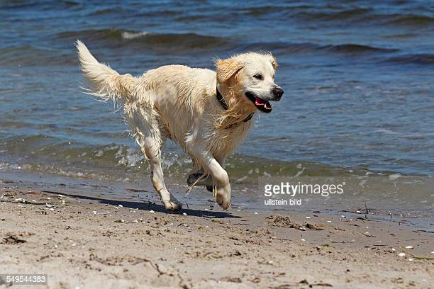 two years old male Golden Retriever dog running on the dog beach domestic dog
