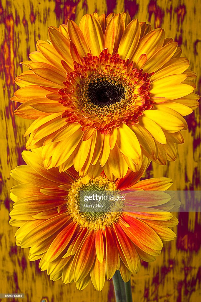 Two yellow mums together : Stock Photo