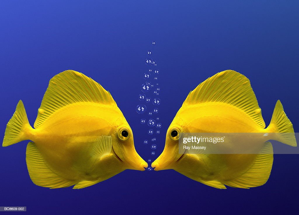 Two yellow tangs, face to face (Digital Composite) : Stock Photo