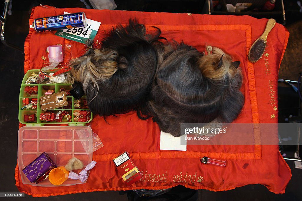 Two Yorkshire Terriers sleep on a grooming table on Day one of Crufts at the Birmingham NEC Arena on March 8, 2012 in Birmingham, England. During the annual four-day competition nearly 22,000 dogs and their owners will compete in a variety of categories, ultimately seeking the coveted prize of 'Best In Show'.