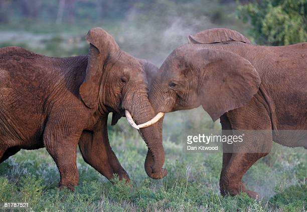Two young African Elephants play fight on December 05 2007 in the Masai Mara Game Reserve Kenya