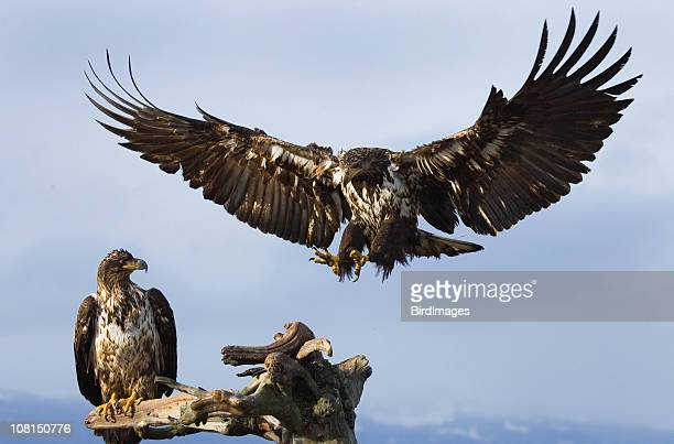 Two Young Bald Eagles, Perching and Landing