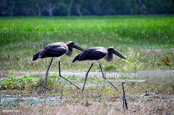Two young Black Necked Storks