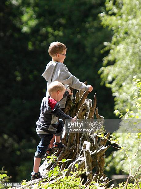 Two young boys climbing on the roots of a fallen tree in the forest UK
