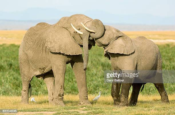 Two young bull elephants (Loxodonta) push and shove each other with their trunks in a juvenile sparring match, Amboseli National Park, Kenya