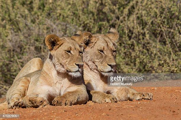 Two Young Female Lions