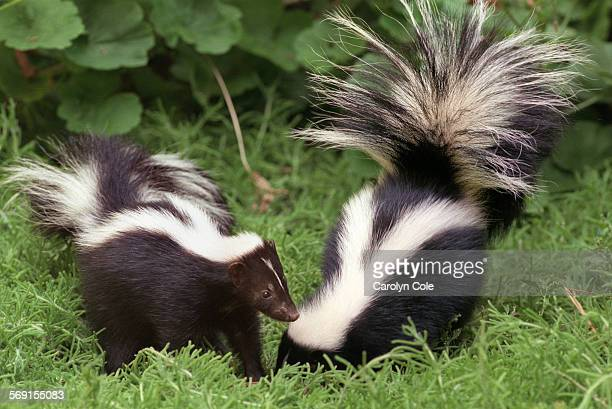 Two young female skunks who were rescued are now being raised and rehabilitated for release by a volunteer They are able to play outside of their...