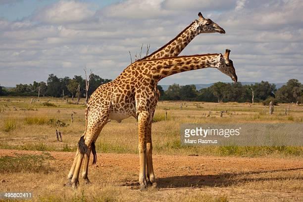 Two young Giraffes -Giraffa camelopardalis- standing side by side, South Luangwa, Zambia