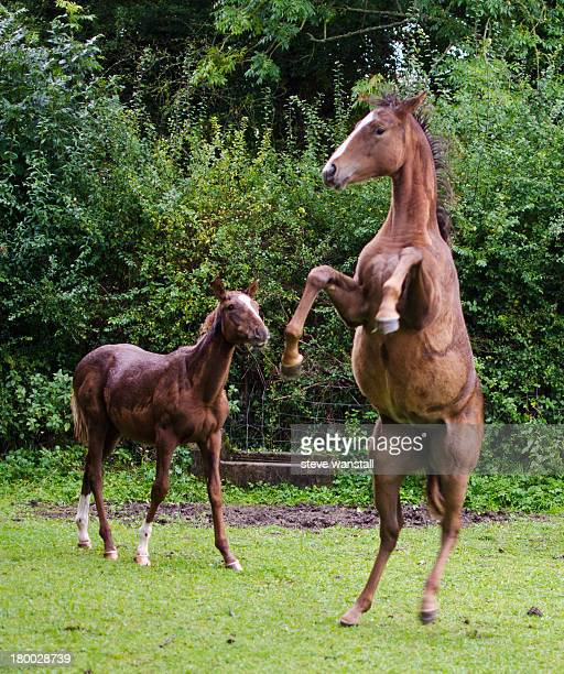 Two young horses dancing