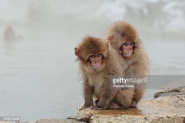 Two young Japanese Macaques