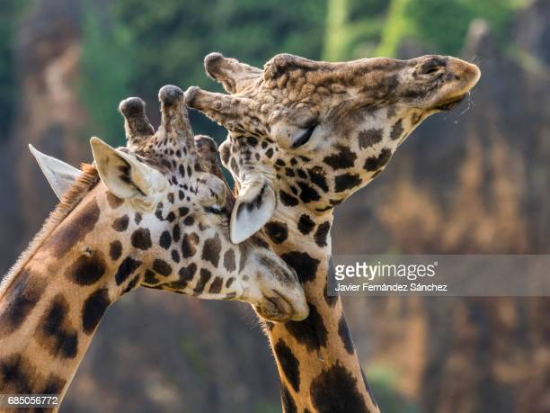 Two young male giraffes struggling with their necks. Necking.