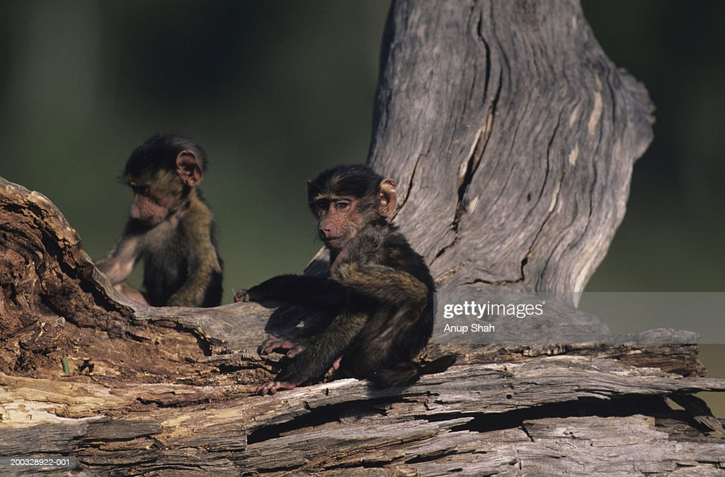 Two young olive baboons (Papio anubis), sitting on wooden log, Kenya : Stock Photo