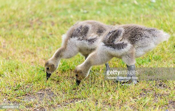 Two young ones of Canada goose feeding on the grass The Canada goose is a large wild goose species with a black head and neck white patches on the...