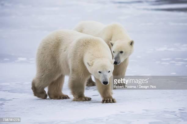 Two young polar bears (ursus maritimus) walking on the ice, Hudson Bay, near Churchill
