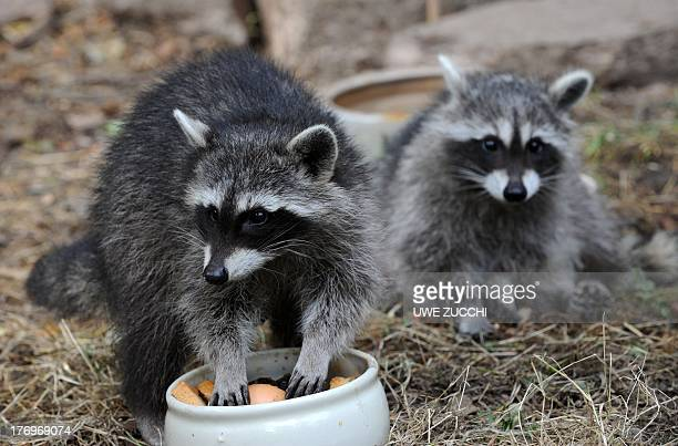 Two young racoons eat at the wildlife park Edersee in EdertalHemfurth western Germany on August 20 2013 AFP PHOTO /DPA/ UWE ZUCCHI GERMANY OUT