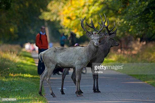Two young Red deer stags one in white morph and walkers in autumn forest Jaegersborg Denmark