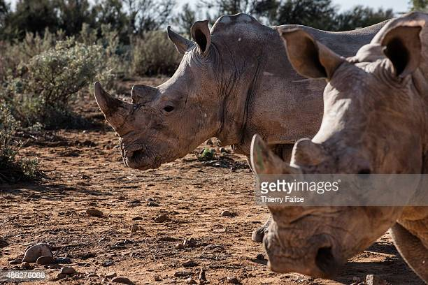 Two young rhinoceros walk in the Inverdoorn Game Reserve Stretching across 10 000 hectares Inverdoorn is one of the largest private wildlife reserves...