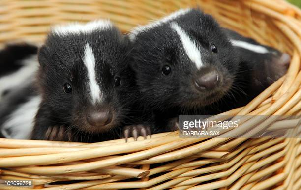 Two young skunks peer out of a basket during their presentation at the Tierpark Friedrichsfelde zoo in Berlin on June 15 2010 Ten skunks were born at...