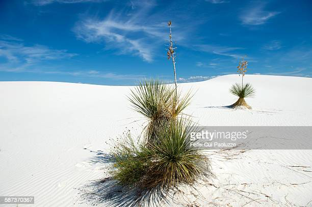 Two yucca trees at White Sands National Monument