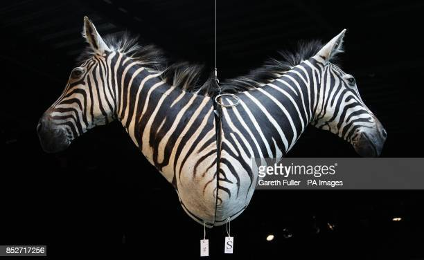 Two Zebra heads for auction at Summers Place Auctions in West Sussex in the Evolution sale which featured a 17 metre long specimen of a longnecked...