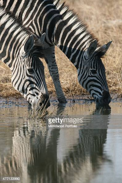'Two zebras drinking in Londolozi Reserve next to Kruger National Park South Africa Africa August 2014 '