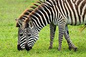 Two zebras grazing, Ngorongoro Crater, Tanzania.
