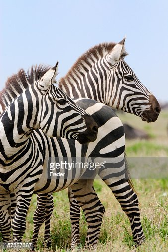 Two zebras in the savanna in Africa