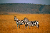 Two zebras standing together in tall grass