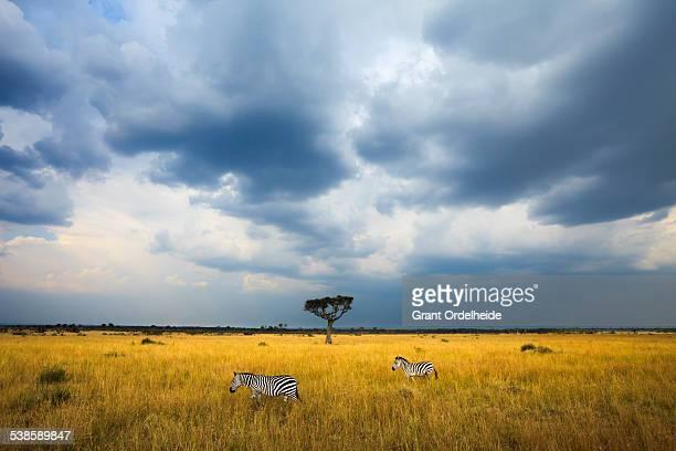 Two Zebras (Equus quagga) walk beneath storm clouds in Kenyas Masai Mara.