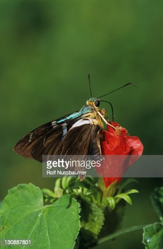 Two-barred Flasher (Astraptes fulgerator), adult on Turk's Cap (Malvaviscus drummondii), Cameron County, Rio Grande Valley, South Texas, USA : Stock Photo