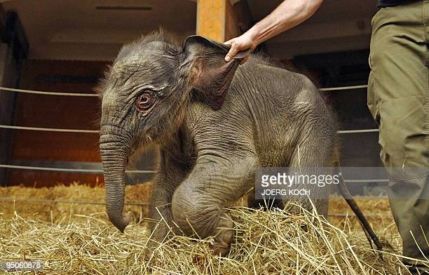 A twodayold baby elephant named 'Jamuna Toni' is held by the ear in her enclosure at Hellabrunn Zoo in the southern German city of Munich on December...