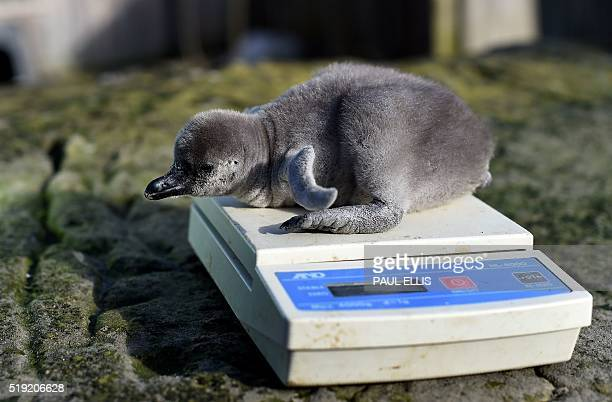 Twodayold baby Humboldt penguin 'Wotsit' is weighed at the penguin enclosure at Chester Zoo in Chester north west England on April 5 2016 The zoo has...