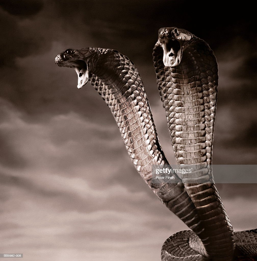 Two-headed cobra snake (B&W Digital Composite) : Stock Photo