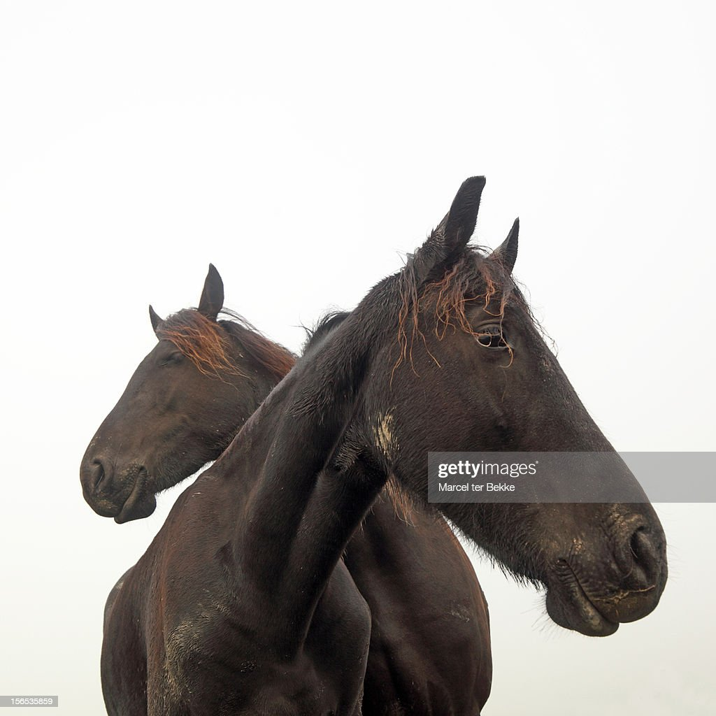 Two-headed horse : Stock Photo