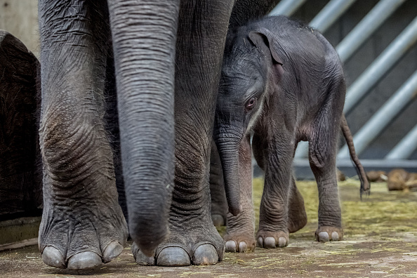 A twooldday male baby Asian elephant stands next to his mother Tamara in their enclosure at Prague Zoo on October 9 2016 in Prague Czech Republic...