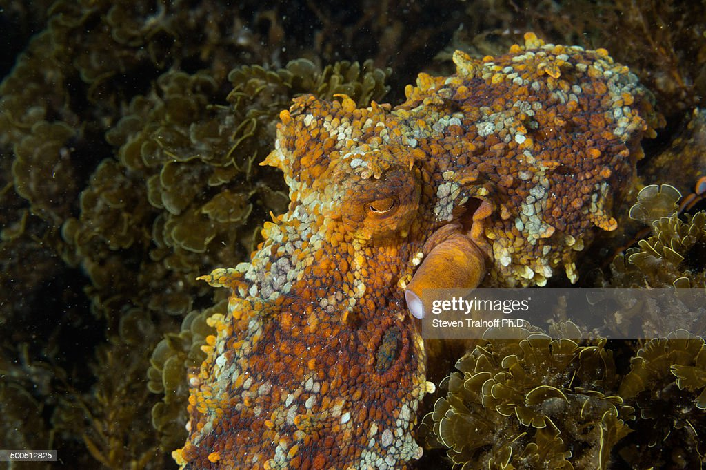 Two-spot octopus hunting at dusk : Stock Photo