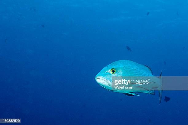 Two-spot red snapper (Lutjanus bohar), Blue Corner, Palau, Micronesia, Pacific