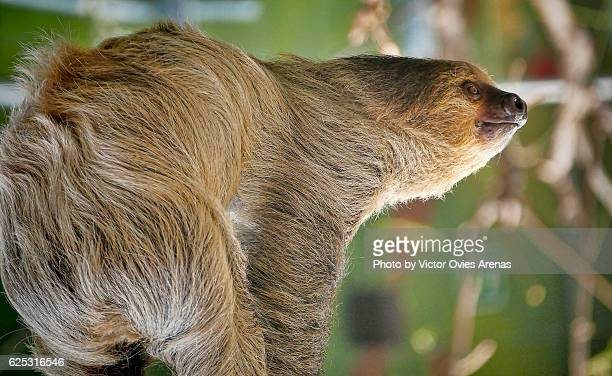Two-toed sloth (Choloepus didactylus) from South America