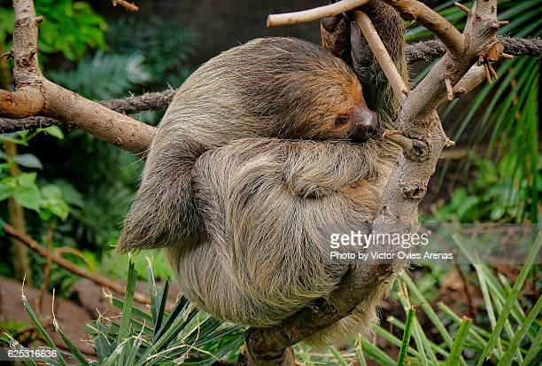 Two-toed sloth (Choloepus didactylus) from South America sleeping on a tree