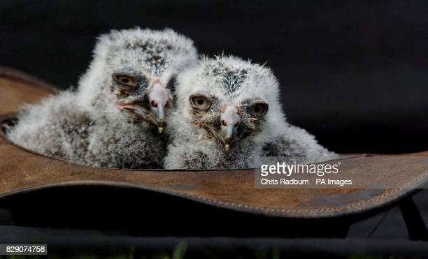 Twoweekold baby snowy owls Aurora and Loki at the Suffolk Owl Sanctuary in Stonham Aspal near Stowmarket Suffolk where they are being hand raised...