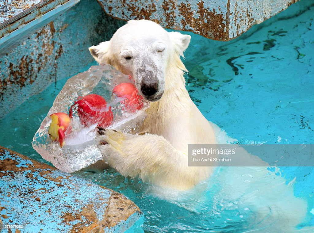 Two-year-old female polar bear 'Icchan' hugs an ice cube containing apples to cool herself down at Tennoji Zoo on July 22, 2016 in Osaka, Japan.