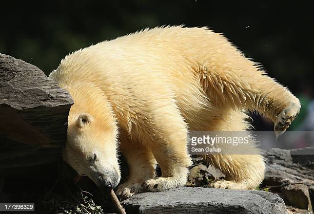 Twoyearold polar bear Wolodja scratches himself in his enclosure at Tiergarten Berlin zoo on August 23 2013 in Berlin Germany The zoo recently...