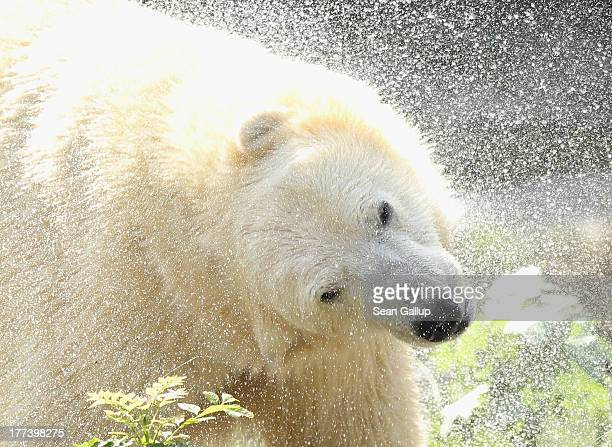 Twoyearold polar bear Wolodja shakes water from his fur after swimming in his enclosure at Tiergarten Berlin zoo on August 23 2013 in Berlin Germany...