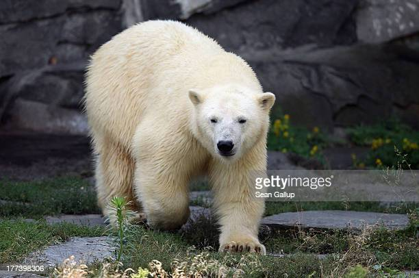 Twoyearold polar bear Wolodja walks in his enclosure at Tiergarten Berlin zoo on August 23 2013 in Berlin Germany The zoo recently aquired Wolodja...
