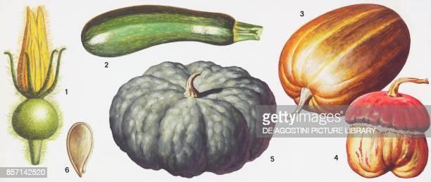 1 flower 2 zucchini 3 smooth oblong pumpkin 4 Romagna pumpkin 5 pumpkin gourd 6 seed drawing