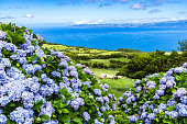 Typical Azorean landscape with green hills, cows and hydrangeas, Pico Island, Azores